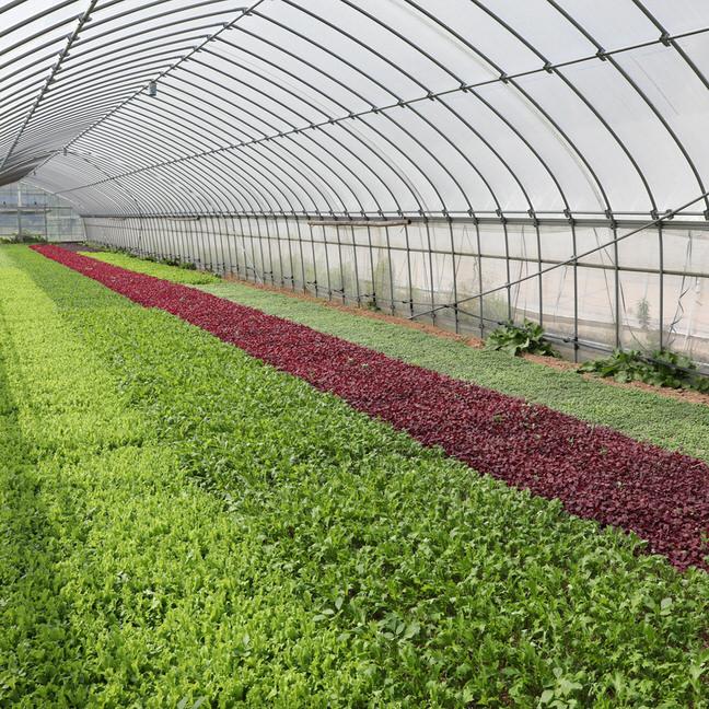 有機JAS認証の野菜を栽培